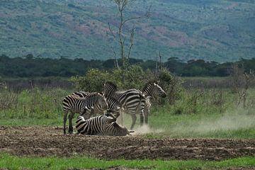 Zebra's in Akagera National Park, Rwanda van paul snijders