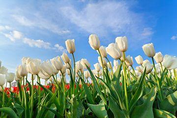 Spring beauty sur Olha Rohulya