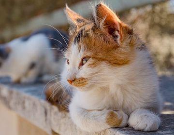 Cat, kitten sur Rene van der Meer