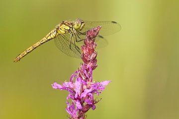 Steenrode Heidelibel op kattenstaart bloem van Jeroen Stel