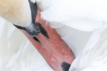 Portret witte zwaan van Photo Henk van Dijk