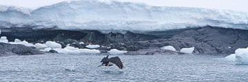 antarctische aalscholver van Eric de Haan