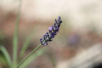 Bloem van de lavendel van whmpictures .com