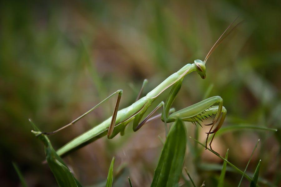 Praying Mantis van BL Photography