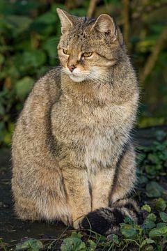 Wilde kat zit van