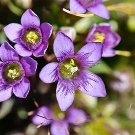 Alpenblume von Marieke Funke