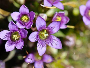 Alpen bloem van Marieke Funke