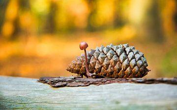 Kegelvrucht van Pinus coulteri van Sran Vld Fotografie