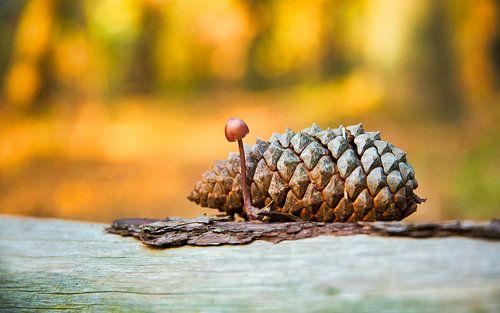 Kegelvrucht van Pinus coulteri