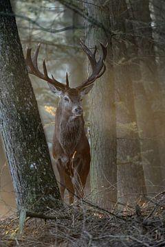 königlicher Hirsch... Rothirsch * Cervus elaphus * von wunderbare Erde