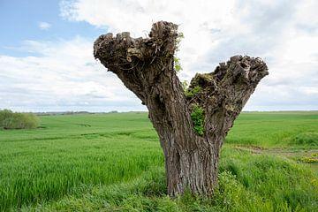 Alter verknoteter Weidenbaumstamm nach dem Niederwald, grünes Feld und bewölkter Himmel in Mecklenbu von Maren Winter