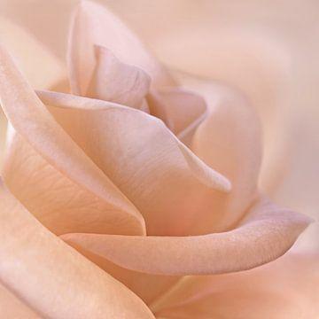 Zarte Rose von Violetta Honkisz