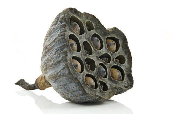 Lotus zaaddoos van Tanja van Beuningen