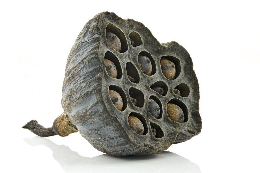Lotus zaaddoos
