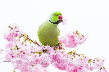 Halsbandparkiet mannetje met bloem van Menno van Duijn