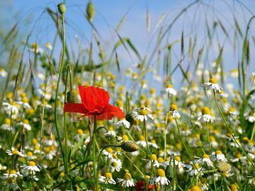 In het veld van Ostsee Bilder