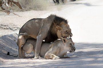 Parende Leeuwen