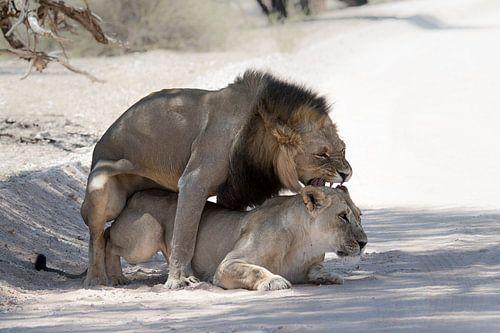 Löwen paaren sich