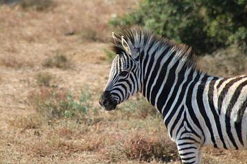 Afrikanisches Zebra von Stephanie Visser