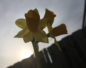 Narcissen tegen de zon van See Like Me