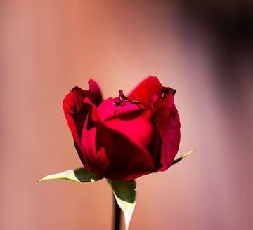 ontluikende rode roos van Tania Perneel