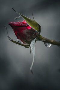 Rose von Sebastian Witt