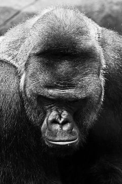 Portrait d'un énorme gorille mâle puissant sur Michael Semenov