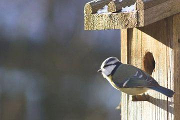 Koolmees bij vogelhuis, wachten op de lente von Dennis Weggelaar