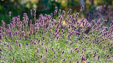 Lavendel von Kirsten Warner