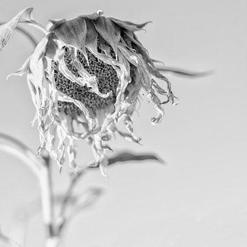 Verwelkte Sonnenblume von Carina Buchspies