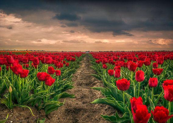 Tulpenvelden van Robin Pics (verliefd op Utrecht)