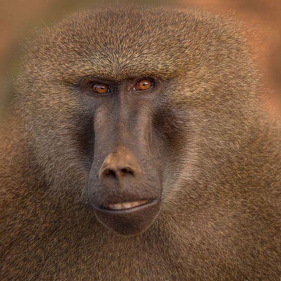 Kleurrijke baviaan close up