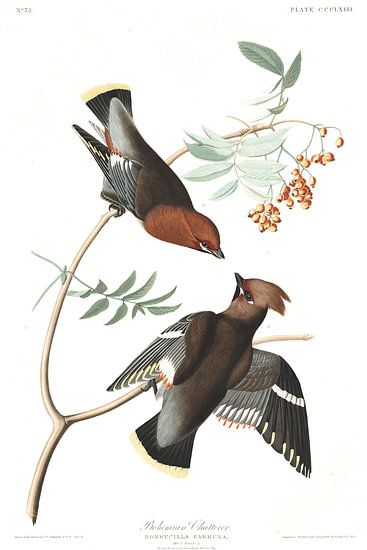Pestvogel van Birds of America