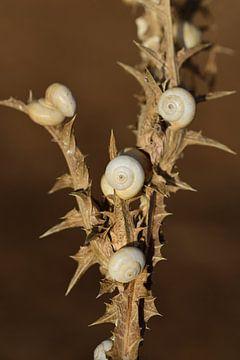 Escargots à épines