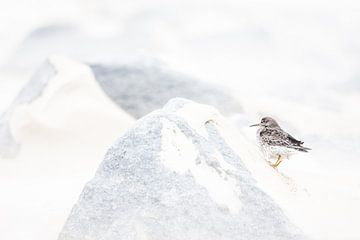 Paarse strandloper in storm van Danny Slijfer Natuurfotografie