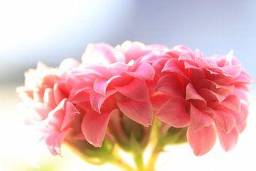 Makroaufnahme einer rosa glücklich blühenden Blume