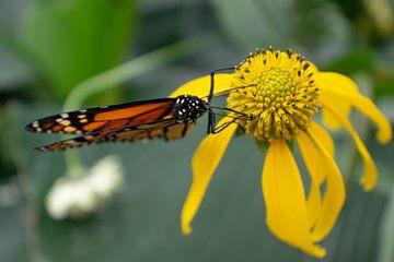 Oranger Monarchfalter auf gelber Blume von Matani Foto