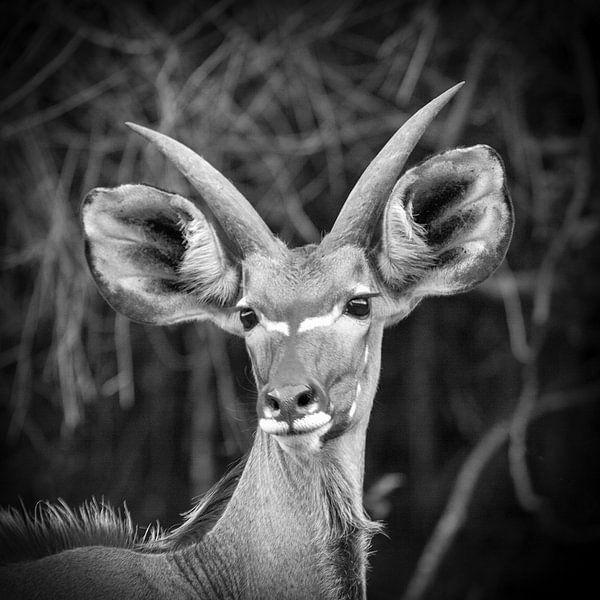 Kudu sur Frans Lemmens