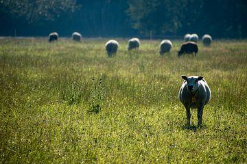 Een kudde schapen in het grasland in de vroege morgen van Case Hydell