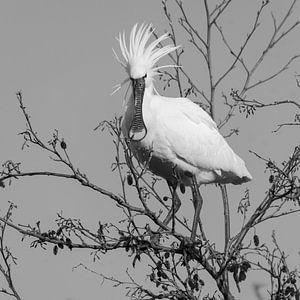 Vogels | Punky lepelaar - zwart-wit van Servan Ott