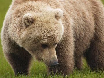 Grizzlybeer - Alaska  van Tonny Swinkels