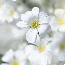 Viltige hoornbloem op een mooie lentedag ( Cerastium tomentosum) van Flower and Art