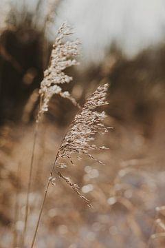 Schilf im Winter von Amber den Oudsten