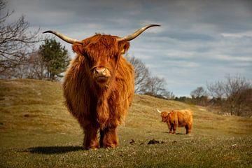 Schottischer Highlander in Zeepeduinen , Burgh-Haamstede, Zeeland von Rene  den Engelsman