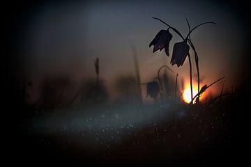 q Mystical Meadow ... Q, Wil Mijer van 1x
