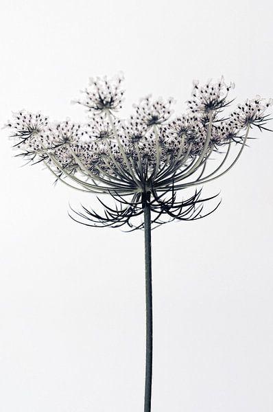 Karottenblüten von Martine Affre Eisenlohr