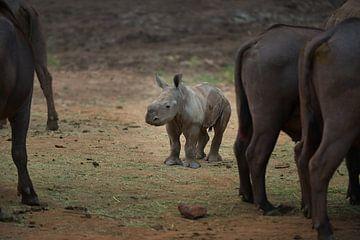 Jonge neushoorn tussen de buffels van Georges Hoeberechts