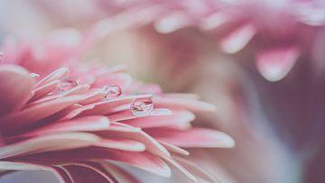 Roze Gerbera met waterdruppels van Marianne Twijnstra-Gerrits