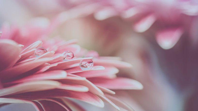 Roze Gerbera met druppels van Marianne Twijnstra-Gerrits