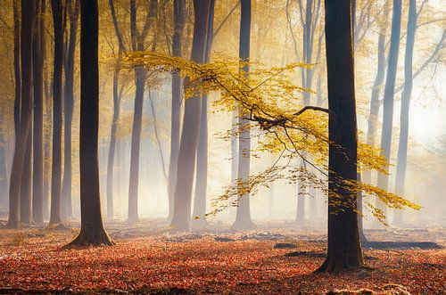 Gele herfst blaadjes in mistig bos van